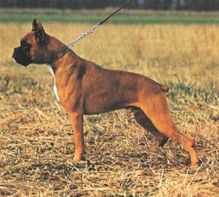...Зачем собакам обрезают хвосты и уши? 800748557